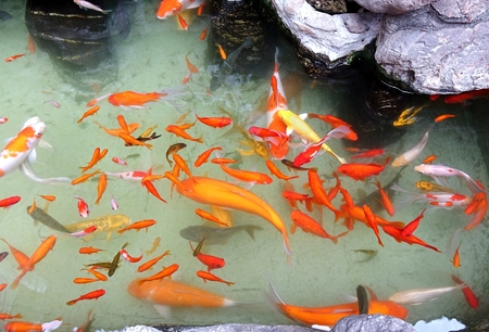 Best Fish for Outdoor Fountains – SerenityHealth.com